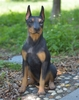 "24"" Doberman Pinscher ""Ultra-Realistic"""