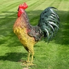 "67"" Large Iron Rooster - Classic"