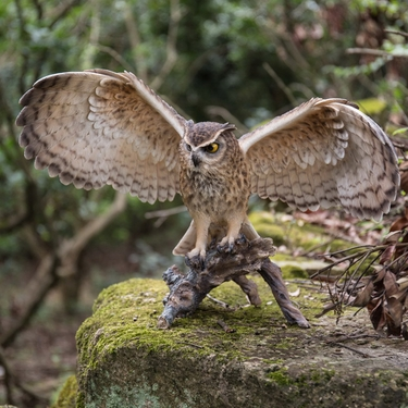 Eagle Owl w/Wings Out