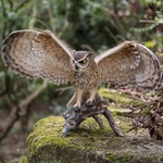"Eagle Owl w/Wings Out ""Utlra-Realistic"""