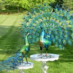 Large Peacocks w/Colorful Feathers (Set of 2)