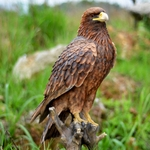 "Golden Eagle Statue ""Ultra-Realistic"""