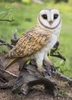 "Perched Barn Owl ""Utra-Realistic"""