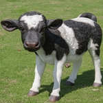 Standing Cow Statue - Black/White