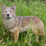 "Standing Coyote ""Ultra-Realistic"""