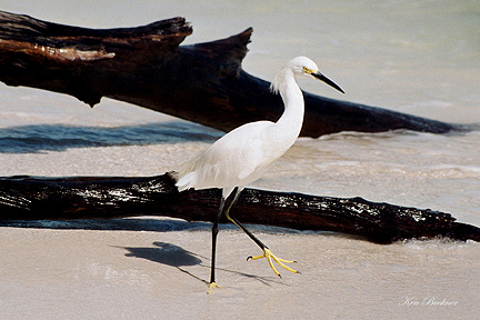 Driftwood Egret Giclee For Sale Cottage Amp Bungalow