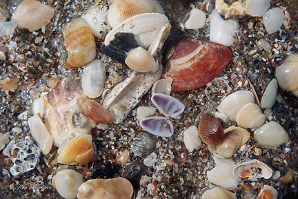Shells Giclee For Sale Cottage Amp Bungalow