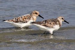 Young Sandpipers Giclee