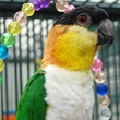 Black Headed Caique Parrot