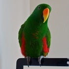 Solomon Island Eclectus Parrot Male - 5 yr old