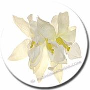 Single Vanda Orchid Hair Clip - White