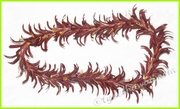 Spider Lily Hawaiian Lei - Brown