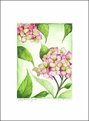 Pink Hydrangea - Box of 10 Note Cards