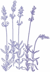 Dried Lavender 4