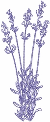 Dried Lavender 5