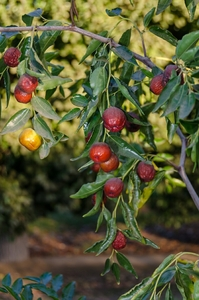Jujube Tree 'Honey Jar'