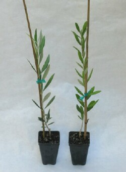 Nocellara del Belice Olive Tree the pair