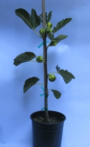 Panachee Tiger Fig Tree 1 gal