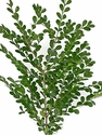 Boxwood 10 Bunches