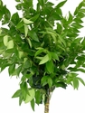 Ligustrum 20 Bunches