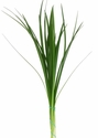 Lily Grass (Green) 10 Bunches