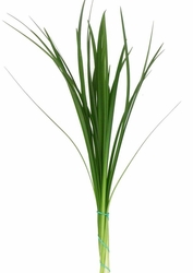 Lily Grass (Green)