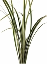 Lily Grass (Variegated) 10 Bunches