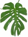 Monstera 20-Bunches