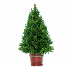 Original Boxwood 24""
