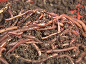 Red Wigglers Earthworms