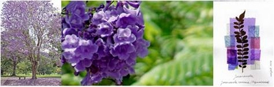 Jacaranda -A fragrant blue cloud-