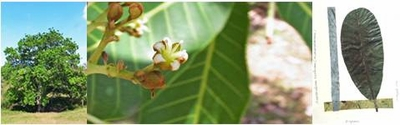 Wild Cashew -The vision tree; go higher to see further-