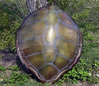 "32"" Green Turtle Shell Half Mount Replica"