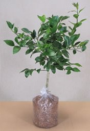 Dwarf Bergamot Orange Tree