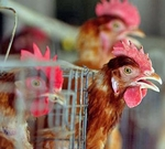 Bird Flu / Avian Influenza