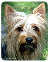 Silky Terrier Coasters