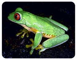 Red Eyed Tree Frog Coasters