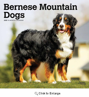 2020 Bernese Mountain Dogs Calendar