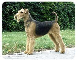 Airedale Terrier Coasters