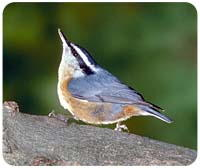 Nuthatch Mousepad