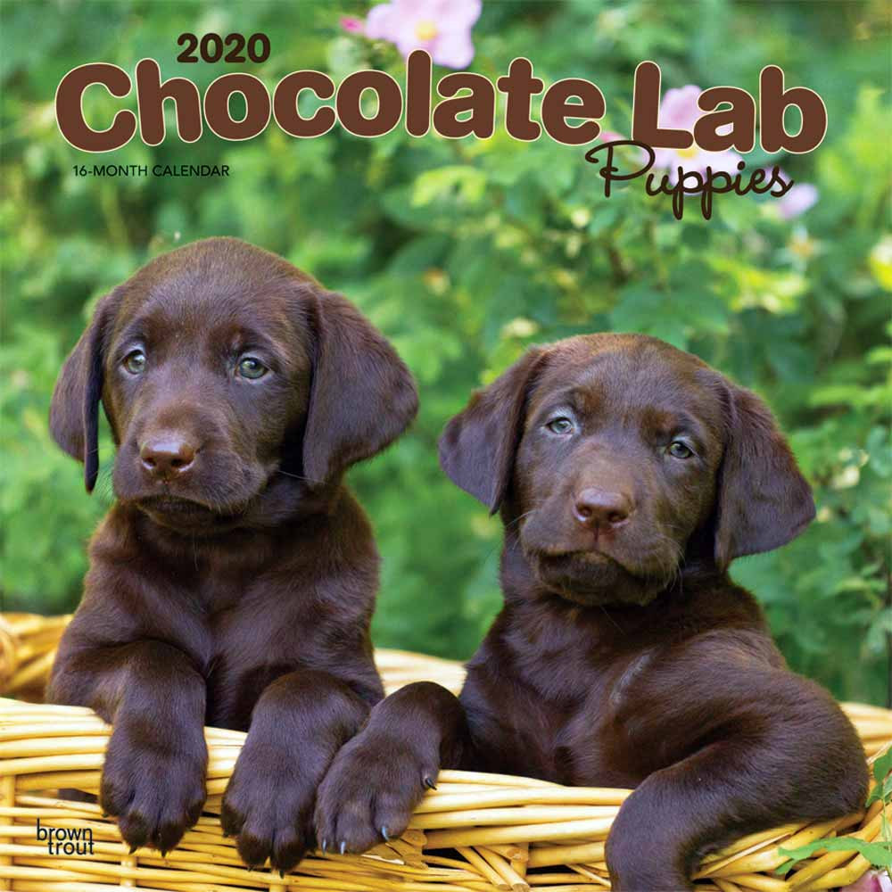 2020 Chocolate Lab Puppies Calendar
