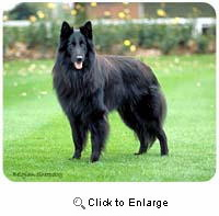 Belgian Sheepdog Mousepad