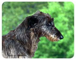 Scottish Deerhound Coasters