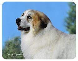Great Pyrenees Coasters
