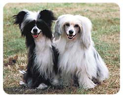 Chinese Crested Coasters