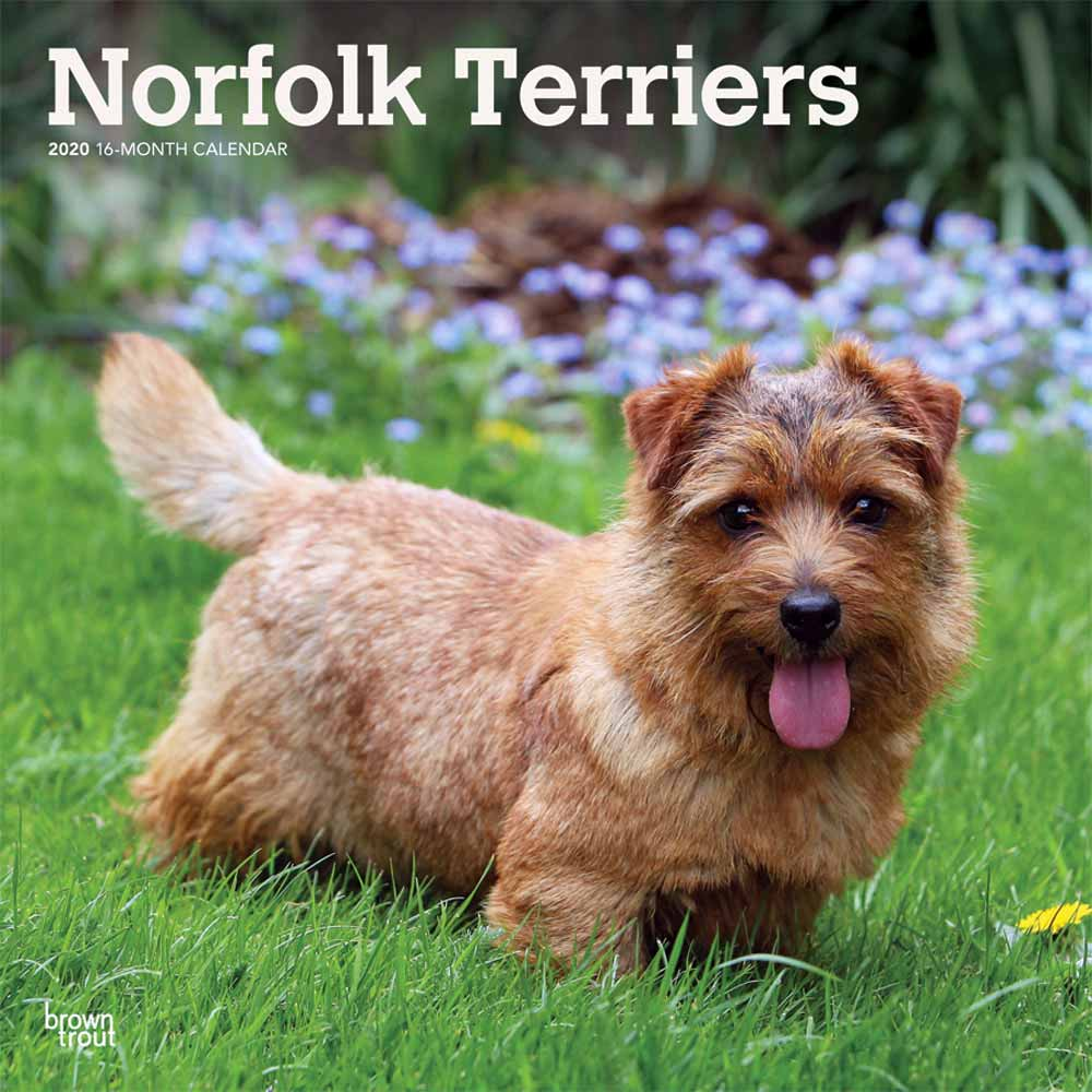 2020 Norfolk Terriers Calendar