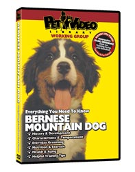 Bernese Mountain Dog Video