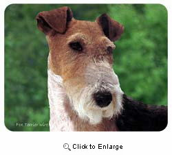 Wire Fox Terrier Coasters