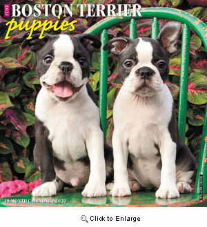 2020 Boston Terrier Puppies Calendar Willow Creek Press