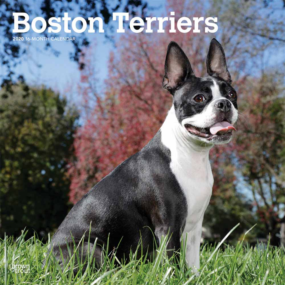 2020 Boston Terriers Calendar